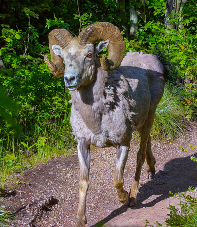 Big Horn Sheep on hiking path
