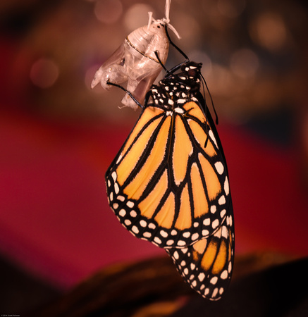 Monarch Butterfly, Day 3--Freedom!!